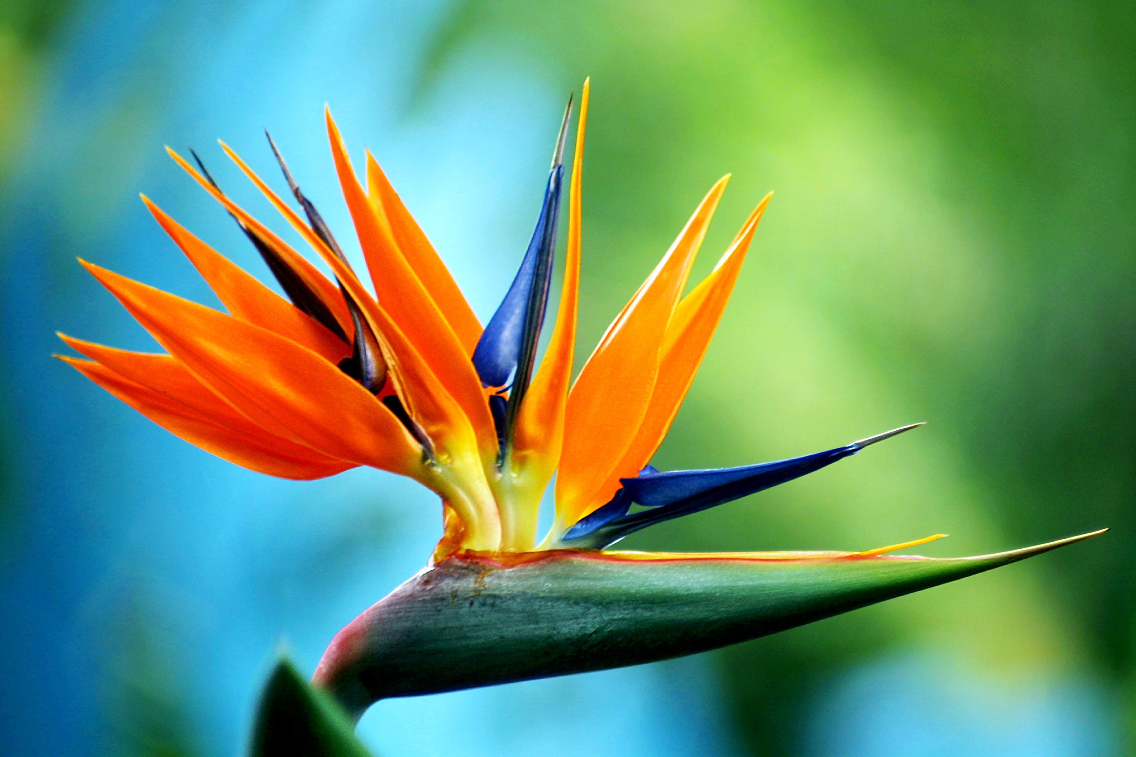 Birds Of Paradise Fragrance Oil Birds Of Paradise Fragrance Oil