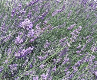Lavender Rain Fragrance Oil